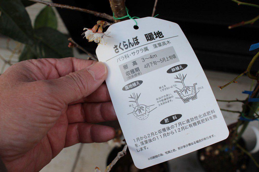 さくらんぼの苗