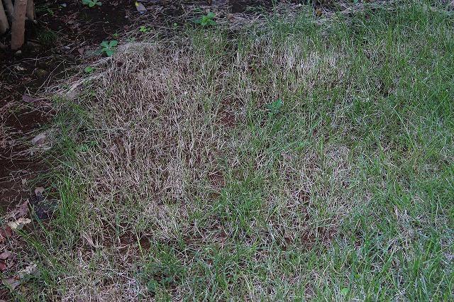 枯れた芝?