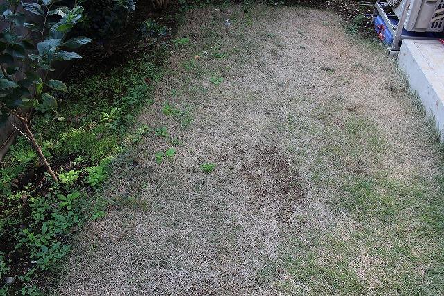 芝生が枯れる