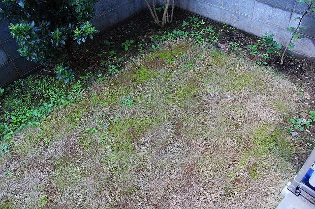 オーバーシードの芝