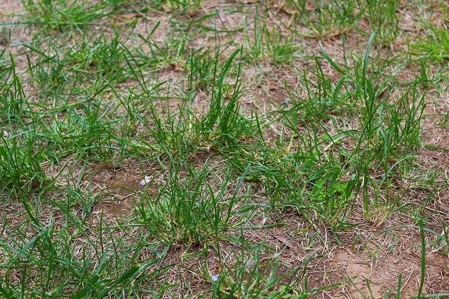 芝生か雑草か?